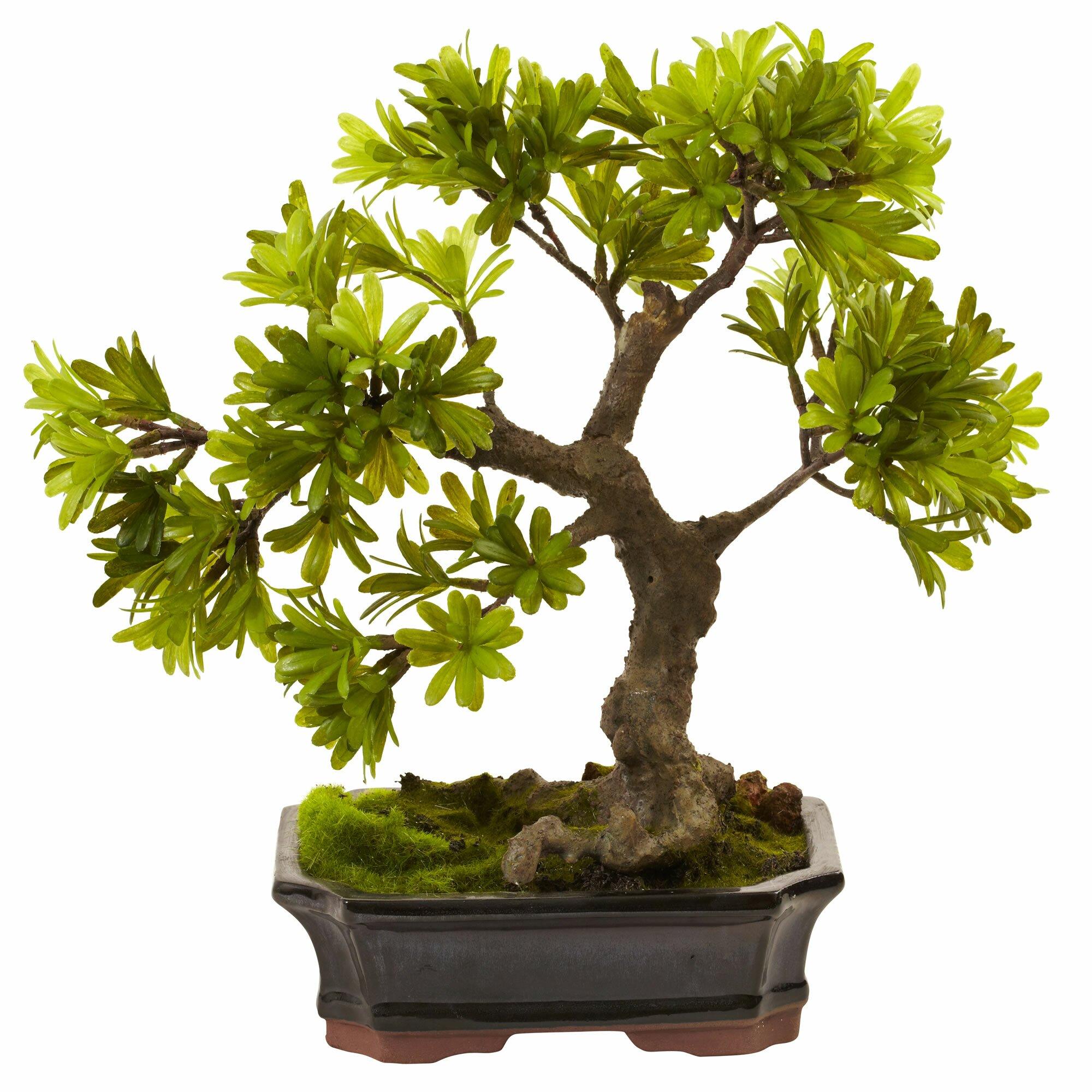nearly natural mossed podocarpus bonsai in planter bonsai planter shapecrete