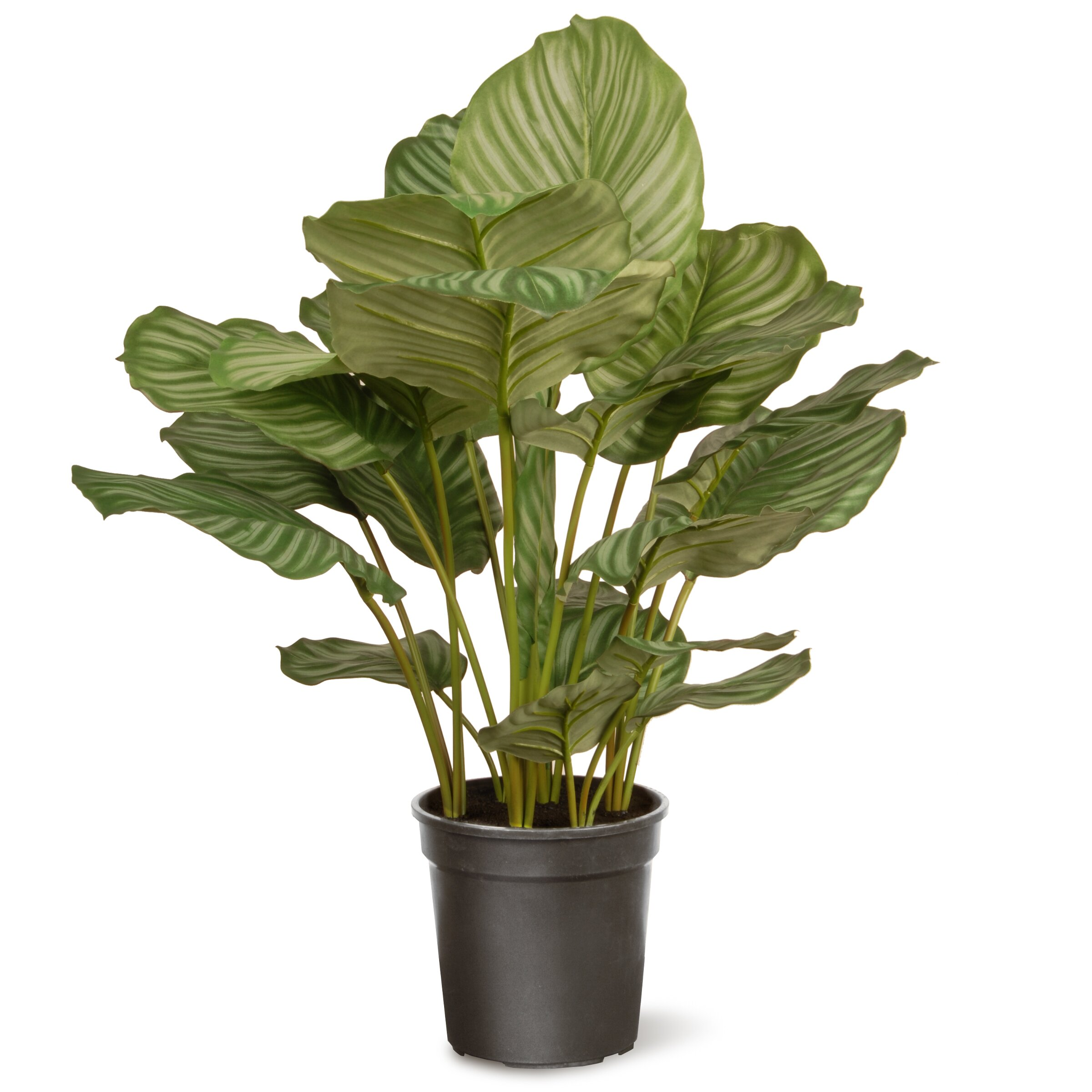 Home Depot Real Christmas Tree Prices: National Tree Co. Calathea Floor Plant In Pot & Reviews