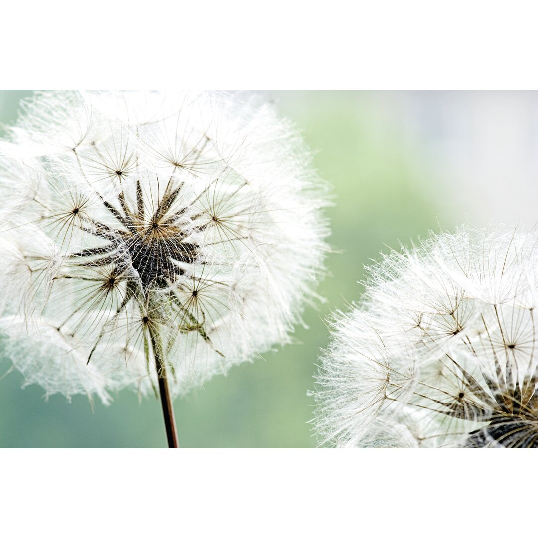 dandelion as wish catchers