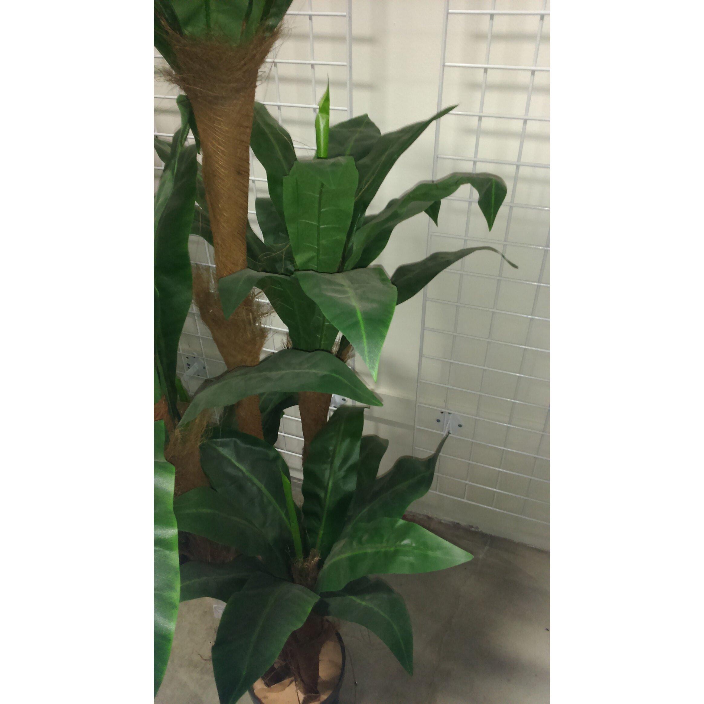 Admiredbynature Foliage Bird Nest Tree Floor Plant In Pot