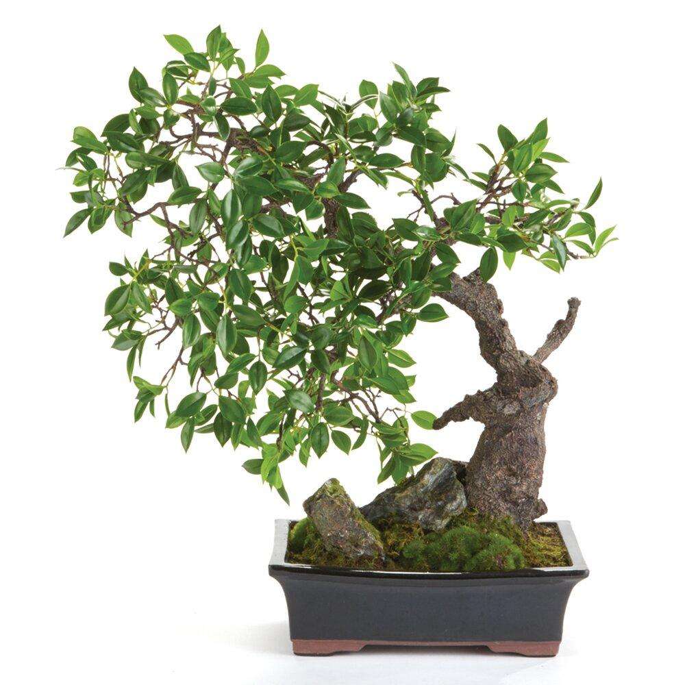 world menagerie ficus bonsai in pot reviews wayfair
